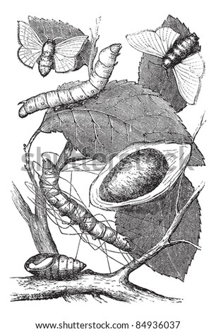 Silkmoth or Bombyx mori, showing (from bottom to top) larva, chrysalis, cocoon, and adult moth, vintage engraved illustration. Trousset encyclopedia (1886 - 1891). - stock vector