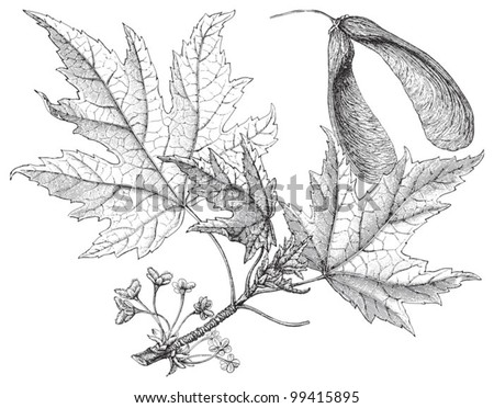 Silverleaf maple (Acer saccharinum) / vintage illustration from Meyers Konversations-Lexikon 1897 - stock vector