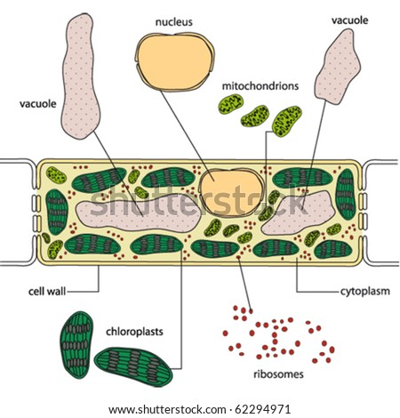 Simplified structure plant cell vector stock vector royalty free simplified structure of a plant cell vector ccuart Images