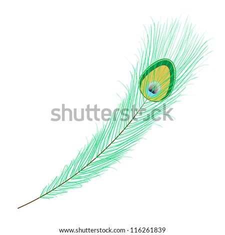 Single peacock feather on white