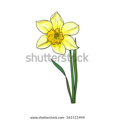 Single yellow daffodil narcissus spring flower stock vector single yellow daffodil narcissus spring flower with stem and leaves sketch vector illustration isolated mightylinksfo