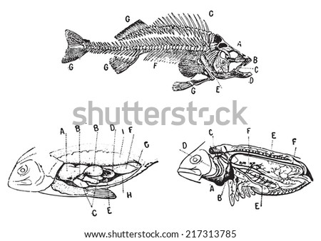 Skeleton, digestive and circulatory system of a fish, vintage engraved illustration. Dictionary of words and things - Larive and Fleury - 1895. - stock vector