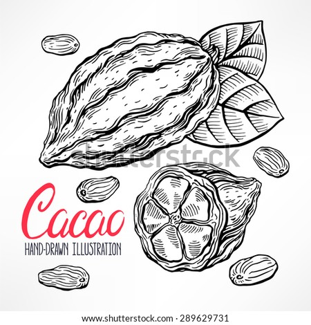 sketch cacao beans, fruit and leaves. hand-drawn illustration