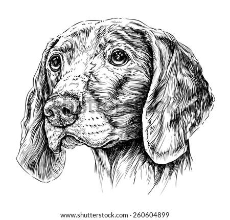 Sketch of Dog Weimar pointer. Vector Illustration - stock vector