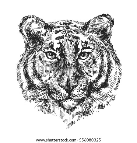 Sketch vector illustration with tiger. Drawing by hand.