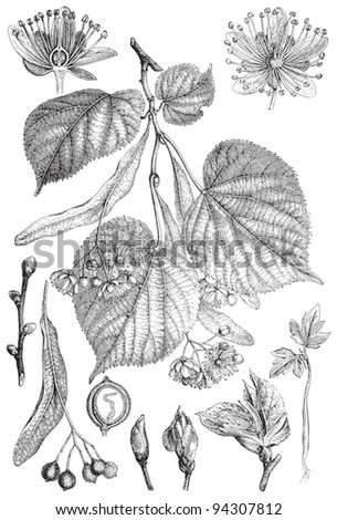 Small-leaved Lime (Tilia cordata) / vintage illustration from Meyers Konversations-Lexikon 1897 - stock vector