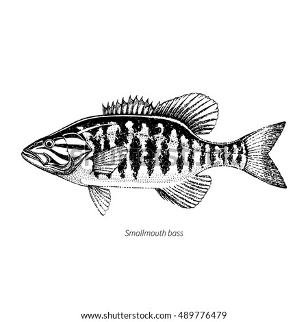Smallmouth Bass Stock Images, Royalty-Free Images ...