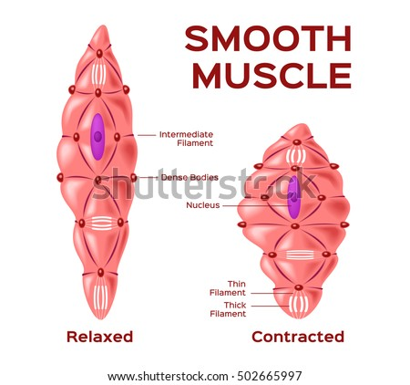 Smooth Muscle Cell Vector Anatomy Relaxed Stock Vector 502665997 ...
