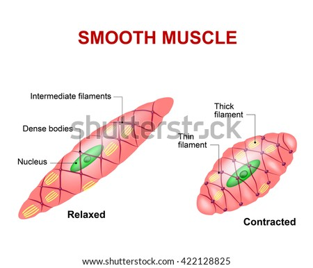 Smooth muscle tissue. Anatomy of a relaxed and contracted smooth muscle cell