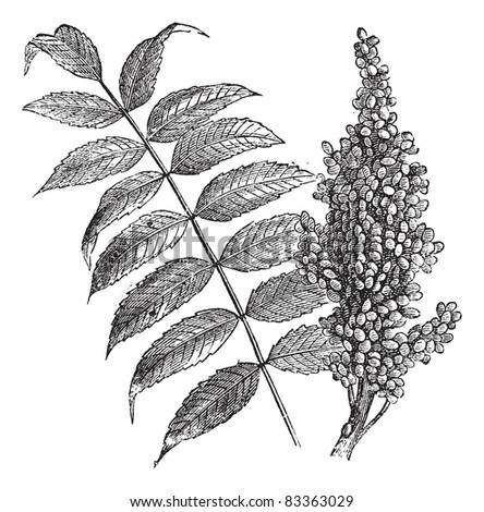 Sumac Leaf Stock Photos Images