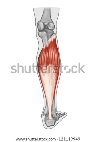 Soleus � anatomy of muscular system - extensor muscle of the foot - stock vector