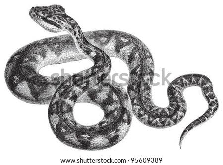 South American bushmaster (Lachesis muta) / vintage illustration from Meyers Konversations-Lexikon 1897 - stock vector