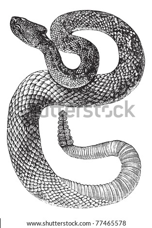 South American Rattlesnake or Tropical Rattlesnake or Crotalus durissus, vintage engraving. Old engraved illustration of a South American Rattlesnake. Trousset Encyclopedia. - stock vector