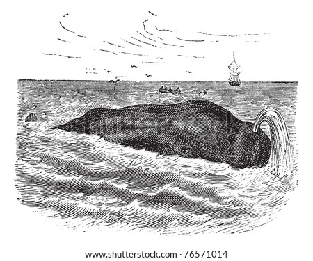 Sperm whale also known as Physeter macrocephalus, marine, mammal, vintage engraved illustration of Sperm whale, mammal. Trousset encyclopedia - stock vector