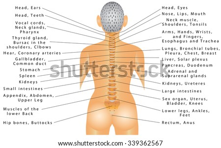 Spine all organs spine organ function stock photo photo vector spine and all organs spine organ function autonomic nervous system innervations of ccuart Gallery