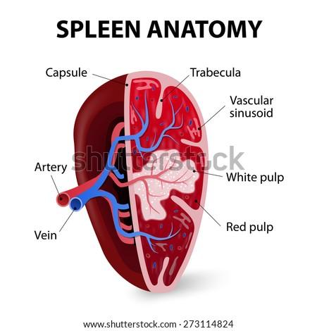 Spleen Cross Section Illustration Showing Trabecular Stock Vector ...