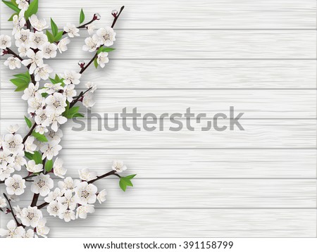 Spring blooming cherry branch on white old wood background. Realistic vector illustration. - stock vector
