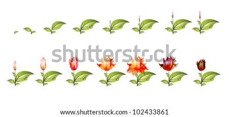 stage of growth of flower isolated on white background. Vector Illustration. - stock vector