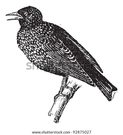 Starling, vintage engraved illustration. Dictionary of words and things - Larive and Fleury - 1895. - stock vector