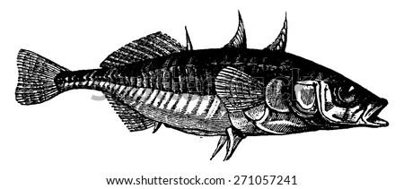 Stickleback, vintage engraved illustration. La Vie dans la nature, 1890. - stock vector