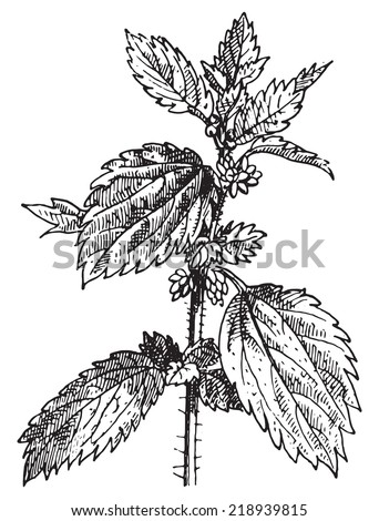 Stinging nettle or Nettle or common nettle or Urtica dioica, vintage engraved illustration. Dictionary of words and things - Larive and Fleury - 1895. - stock vector