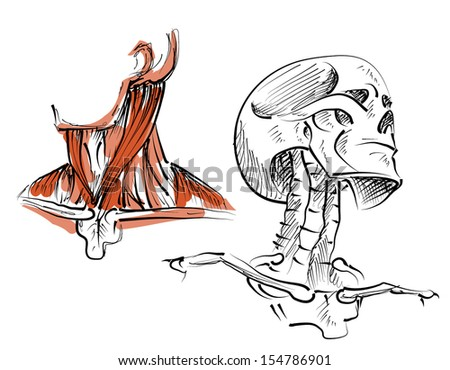 Stock vector diagram of skeleton and neck musculature for medicine and health care illustration - stock vector