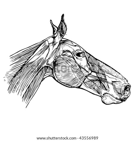 Stock Vector Illustration Study Drawing Horse Stock Vector 43556989 ...