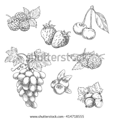 Strawberries, grape vine with tendrils and bunch of ripe grapes, raspberries, cherries, blackberries, gooseberries and blueberries fruits sketches