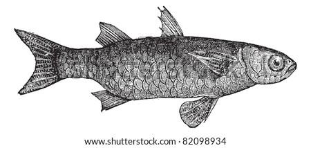 Striped Mullet (Mugil Lineatus) or flathead mullet fish, vintage engraved illustration. Trousset encyclopedia (1886 - 1891). - stock vector