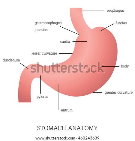 Structure and function of Stomach Anatomy system isolated on white background, Human anatomy education vector illustration.