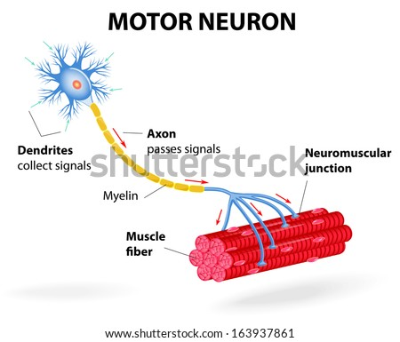 structure motor neuron. Include dendrites, cell body with nucleus, axon, myelin sheath, nodes of Ranvier and motor end plates. The impulses are transmitted through the motor neuron in one direction - stock vector