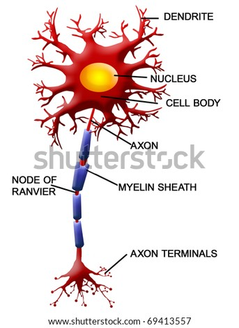 Structure of a motor neuron, vector illustration - stock vector