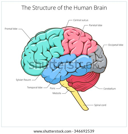 Structure of human brain schematic vector illustration. Medical science educational illustration - stock vector