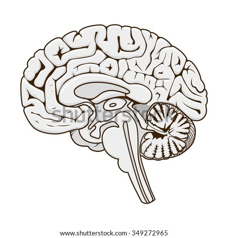 Structure of human brain section schematic vector illustration. Medical science educational illustration