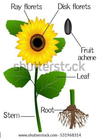 Structure Sunflower Stock Vector 531968314 - Shutterstock