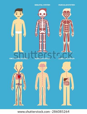 Stylized Human Body Anatomy Chart Skeletal Stock Vector Royalty