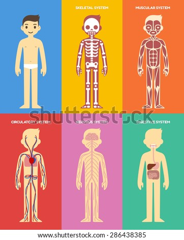 Stylized human body anatomy chart: skeletal, muscular, circulatory, nervous and digestive systems. Flat cartoon style. - stock vector