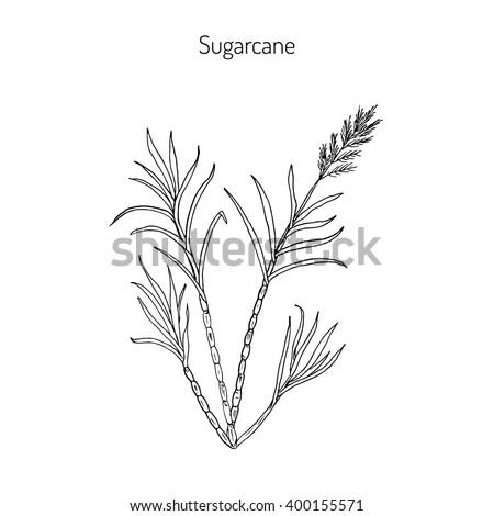 Sugarcane (Saccharum officinarum).  Hand drawn botanical vector illustration