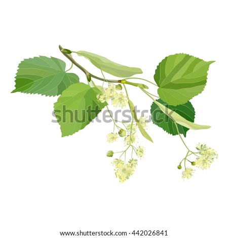 Summer flowers. Small sprig of blossoming linden with inflorescence