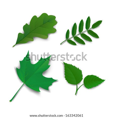 Summer leaves set oak, maple, ash and birch vector illustration