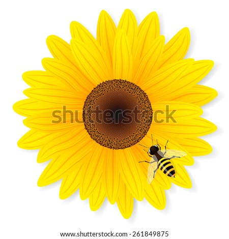 Sunflower and bee isolated on white background. Vector illustration. - stock vector