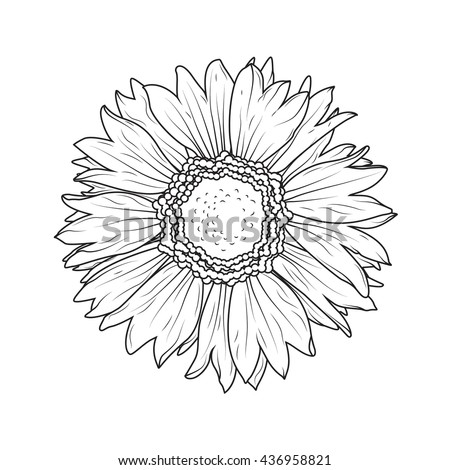 Sunflower aster daisy isolated on white background. ?lose-up flower macro view. Detailed black and white vector illustration. - stock vector