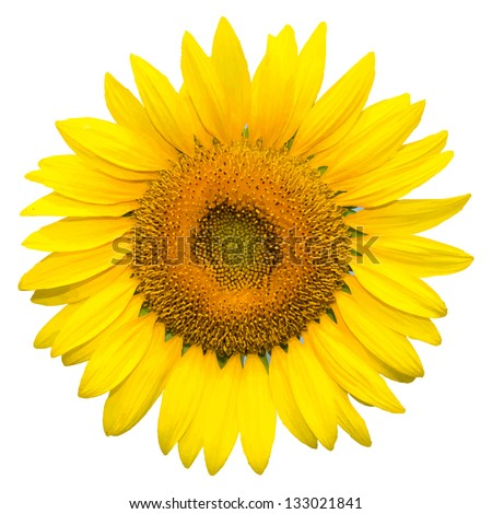 Sunflower on white background background, vector format