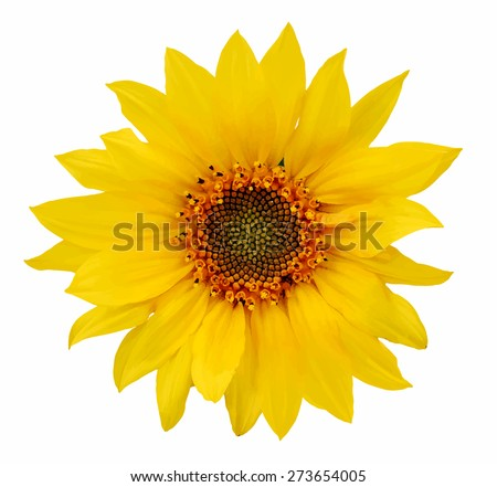 sunflower, vector - stock vector