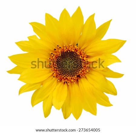 sunflower, vector - stock vector