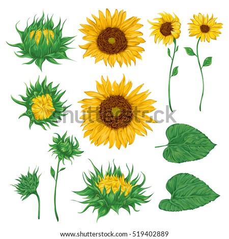 sunflower stock images, royaltyfree images  vectors  shutterstock, Natural flower