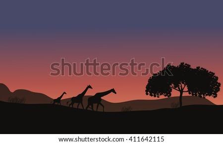Sunset at Safari and Giraffes Family of silhouette - stock vector
