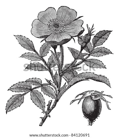 Sweet briar or Rosa rubiginosa or Eglantine Rose or R. eglanteria, vintage engraving. Old engraved illustration of Sweet briar isolated on a white background. Trousset encyclopedia (1886 - 1891). - stock vector