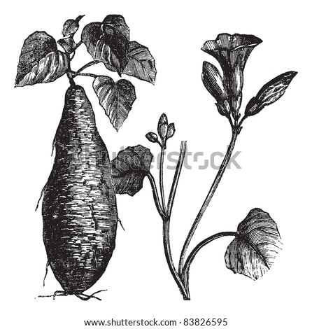 Sweet Potato or Ipomoea batatas, vintage engraved illustration, showing root (left) and flowers (right). Trousset encyclopedia (1886 - 1891). - stock vector
