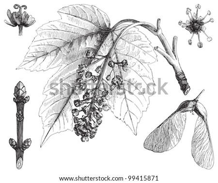 Sycamore maple (Acer pseudoplatanus) / vintage illustration from Meyers Konversations-Lexikon 1897 - stock vector